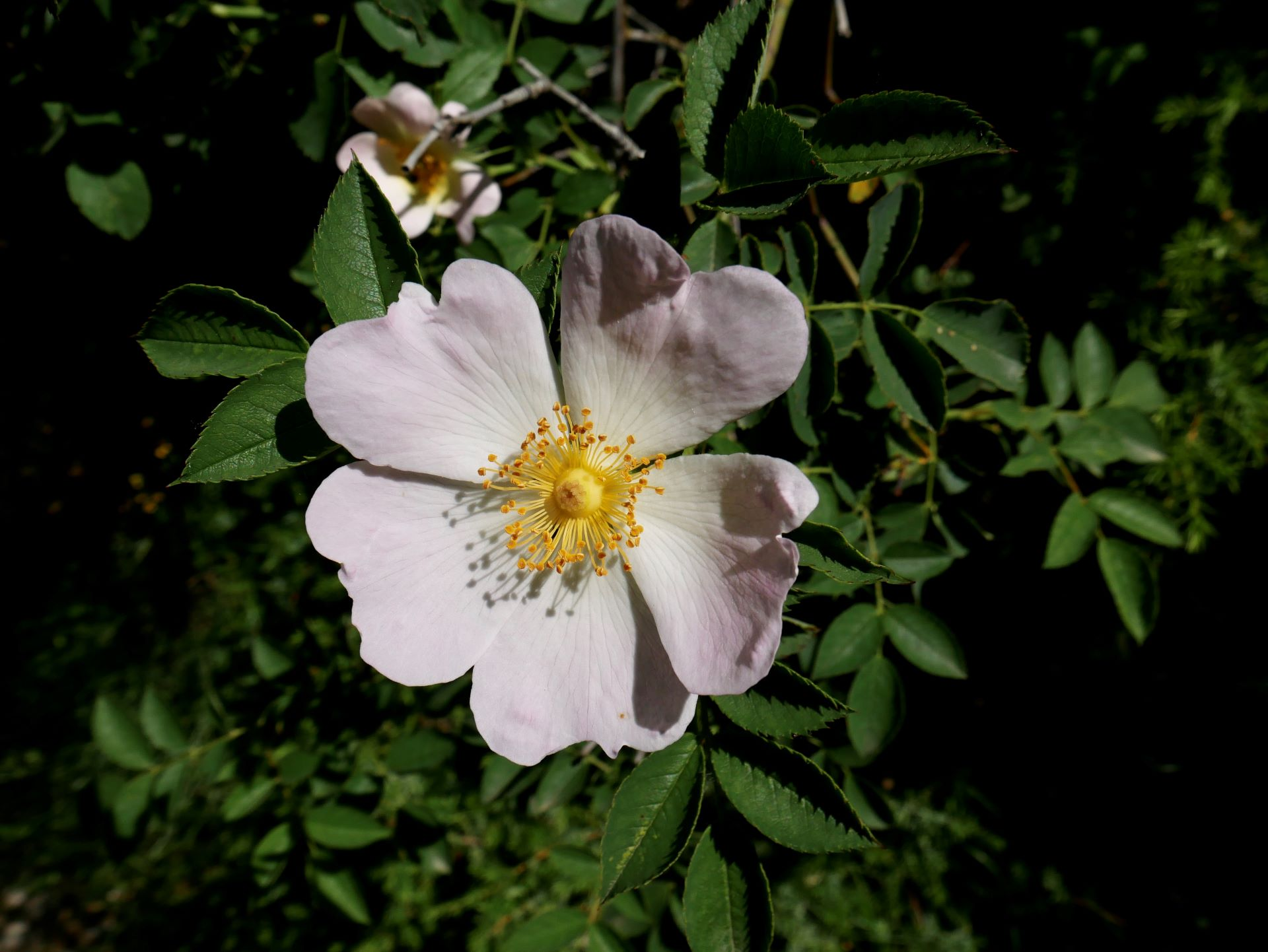 Balade drome : les gorges d'Omblèze. Fleur
