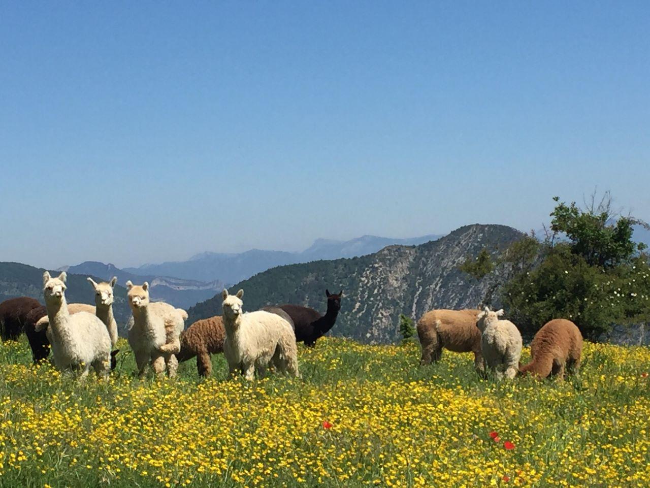 La bergère d'Alpagas à Pradelle