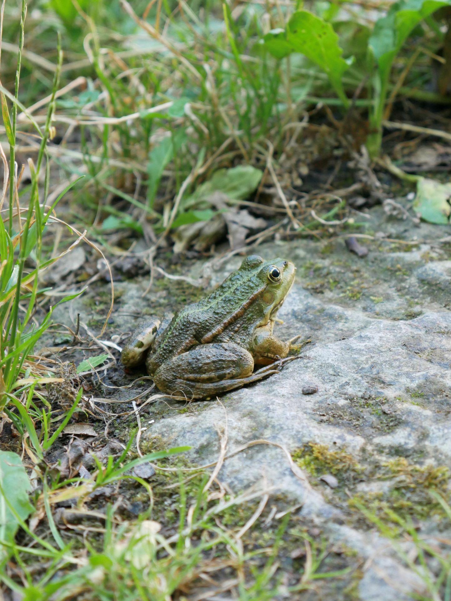 La garde Adhémar : grenouille au Val des Nymphes