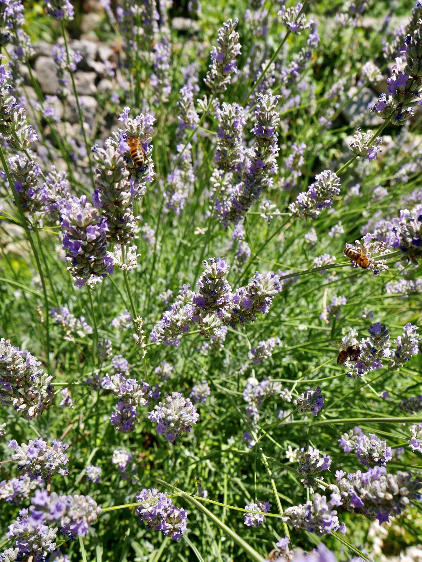 La garde Adhémar : lavande du jardin des herbes